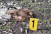 Ďalšie uhynuté dravce našli v okolí Tvrdošoviec, dôvodom je pravdepodobne otrava